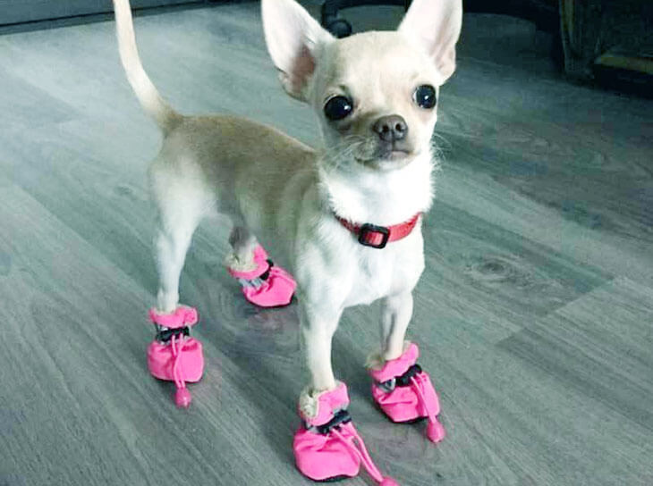 Best Dog Boots for Chihuahua