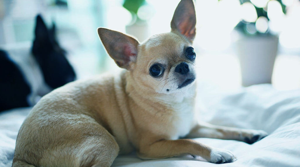 Best Dog Treats for Chihuahuas