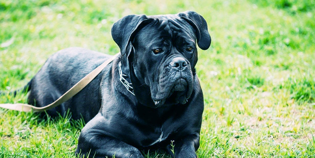 The 7 Best Brush For Cane Corso 2020 A