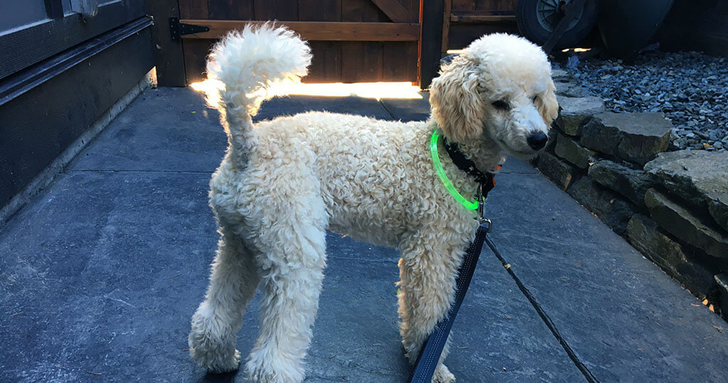 Best Collar for Standard Poodle