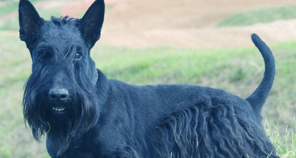 Best Dog Clippers for Scottish Terrier
