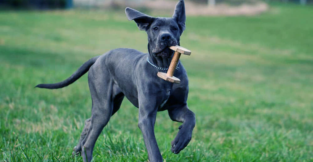 Best Toys for Great Danes