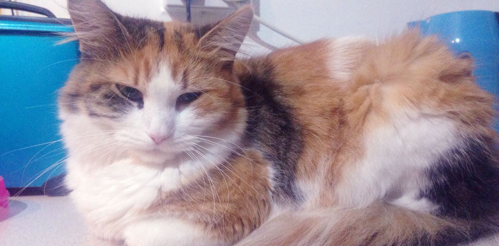 Best Cat Clippers for Long Haired Cats