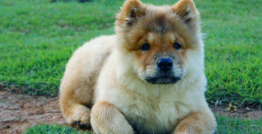 Best Dog Clippers for Chow Chow