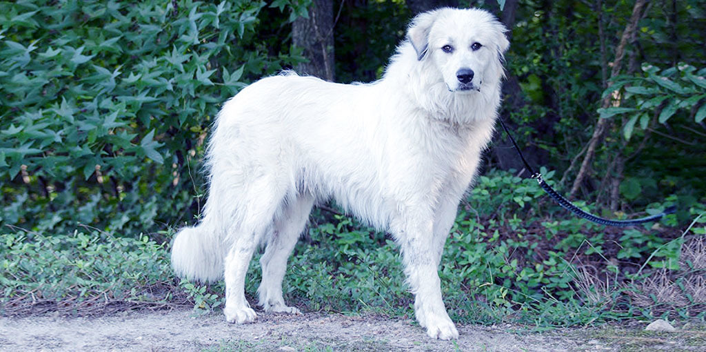Best Clippers for Great Pyrenees
