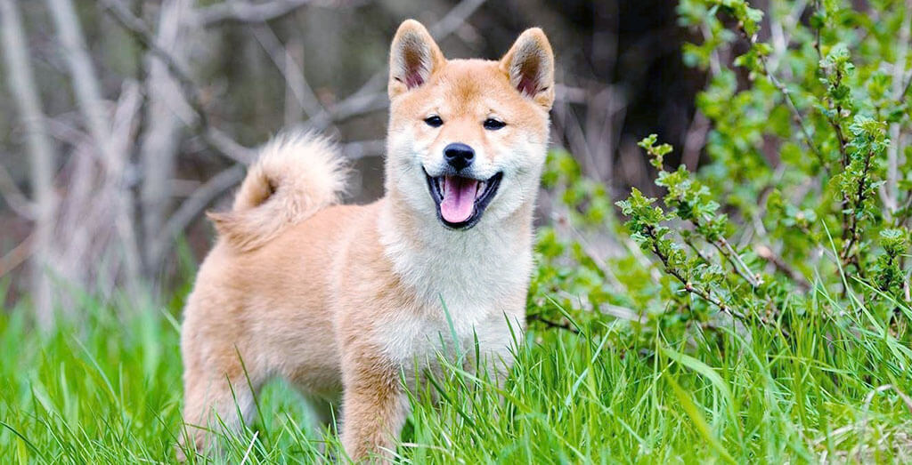 Best Dog Clippers for ShibaInu
