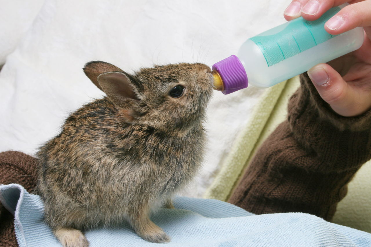 How to Feed Baby Rabbits Without a Mother